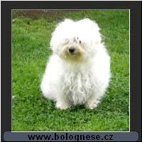 Boloňský psík - standard plemene 3230a0239f