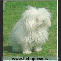 Celková charakteristika   Malý společenský psík ceadef85d7