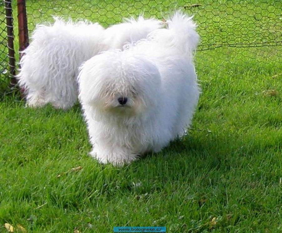 Boloňský psík. Bolognese 7f2522bebe